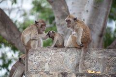 Thailändische Affefamilie im thailändischen Tempel lizenzfreie stockfotos