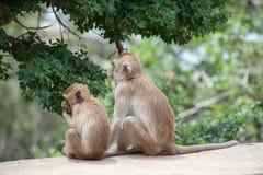 Thailändische Affefamilie im thailändischen Tempel Stockfoto