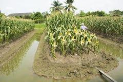 Thailändische Arbeitskraftlandwirte, die Mais von der landwirtschaftlichen Maisplantage ernten Stockfotos