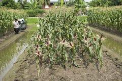 Thailändische Arbeitskraftlandwirte, die Mais von der landwirtschaftlichen Maisplantage ernten Stockbild