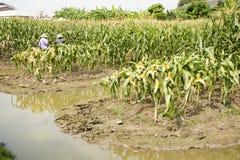 Thailändische Arbeitskraftlandwirte, die Mais von der landwirtschaftlichen Maisplantage ernten Lizenzfreie Stockfotos