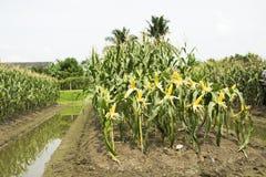 Thailändische Arbeitskraftlandwirte, die Mais von der landwirtschaftlichen Maisplantage ernten Stockfoto