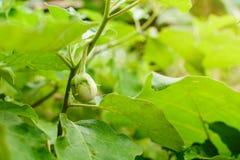 thailändische Aubergine organisch Lizenzfreies Stockfoto