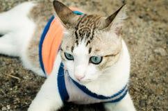 Thailändische blauäugige Katze Lizenzfreies Stockfoto