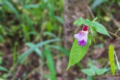 Thailändische Blume der purpurroten Orchidee/thailändische Orchidee Stockfotografie