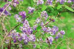Thailändische Blume Tabak Stockbild