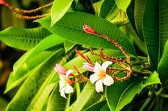 Thailändische chaba Blume Lizenzfreies Stockbild