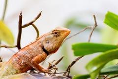 Thailändische Eidechse Browns auf dem Baum, Reptiltier Stockfotos