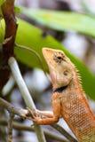 Thailändische Eidechse Browns auf dem Baum, Reptiltier Lizenzfreies Stockfoto