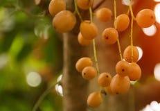Thailändische Früchte Rambeh oder des rambi auf dem Baum stockfoto