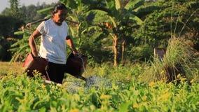 Thailändische Frau, die ihren organischen Gemüsebauernhof mit der Anwendung und Joch und 2 Gießkannen wässert stock video