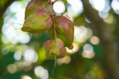 Thailändische Frucht des Grüns und des Rosas mit den roten Ameisen, die schwer arbeiten, um seinen Nektar, in einem reizenden grü Lizenzfreie Stockfotos