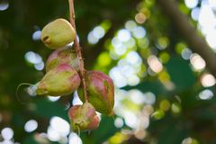 Thailändische Frucht des Grüns und des Rosas mit den roten Ameisen, die schwer arbeiten, um seinen Nektar, in einem reizenden grü Lizenzfreie Stockbilder