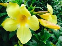 Thailändische gelbe Blume Stockfoto