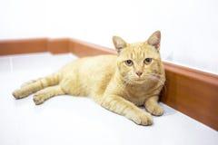 Thailändische gelbe Katze Lizenzfreies Stockbild