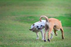 Thailändische Hunde, die in der grünen Wiese spielen Lizenzfreie Stockfotografie
