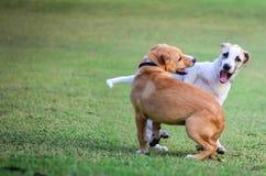 Thailändische Hunde, die in der grünen Wiese spielen Stockfoto