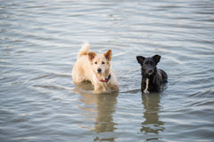 Thailändische Hundeschwimmen im Fluss stockfotografie