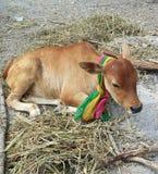 Thailändische junge Kuh lizenzfreie stockfotografie