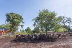Thailändische Kühe, die auf einem Gebiet unter Baum bei Süd-Thailand stillstehen Stockfotografie