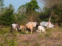 Thailändische Kühe und Geflügel in Thailand Lizenzfreie Stockbilder
