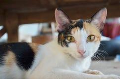 Thailändische Katze Lizenzfreie Stockbilder