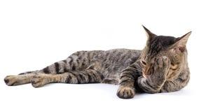 Thailändische Katze Stockfoto