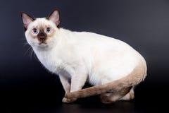 Thailändische Katze auf einem schwarzen Hintergrund stockbilder