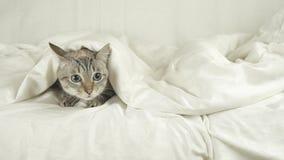 Thailändische Katze liegt unter Decke auf dem Bett und schaut um Gesamtlängenvideo auf Lager stock video footage