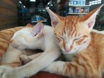 Thailändische Katze, nett, nett, saugend, Schlafen, bequem, nett, Herde und ziehen, Familie, siamesische Katze ein stockbild