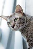 Thailändische Katze, Thailand-Katze, die heraus Fenster, gelbe Augen schaut Lizenzfreies Stockfoto