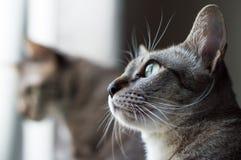 Thailändische Katze, Thailand-Katze, die heraus Fenster, gelbe Augen schaut Stockbild