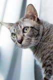 Thailändische Katze, Thailand-Katze, die heraus Fenster, gelbe Augen schaut stockbilder
