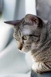 Thailändische Katze, Thailand-Katze, die heraus Fenster, gelbe Augen schaut Lizenzfreies Stockbild