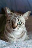 Thailändische Katze, Thailand-Katze, die heraus Fenster, gelbe Augen schaut Stockfoto