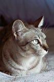 Thailändische Katze, Thailand-Katze, die heraus Fenster, gelbe Augen schaut Lizenzfreie Stockfotos