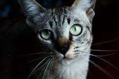 Thailändische Katze, Thailand-Katze, die Kamera, gelbe Augen betrachtet Lizenzfreie Stockfotografie
