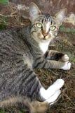 Thailändische Katze, wenn Aktion geschaut wird Stockbild