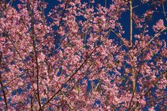 Thailändische Kirschblüte lizenzfreies stockbild
