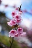 Thailändische Kirschblüte, Prunus cerasoides Lizenzfreies Stockfoto