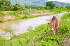 Thailändische Kuh, die frisches Gras nahe Fluss mit Bergblick hinten isst Stockbilder