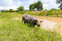 Thailändische Kuh, die frisches Gras nahe Fluss mit Bergblick hinten isst Lizenzfreies Stockfoto