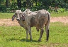Thailändische Kuh, Nordost, Thailand. Stockfotos