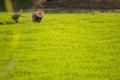 Thailändische Landwirtarbeit auf dem Reisgebiet Stockfotos
