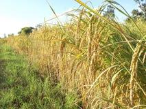 Thailändische Landwirternte des Reises Lizenzfreies Stockbild