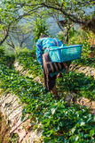 Thailändische Landwirtschaftsernteerdbeerbeeren auf dem Gebiet lizenzfreies stockfoto
