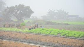 Thailändische Landwirtschaftsleute, die am Gemüsegarten arbeiten stock video