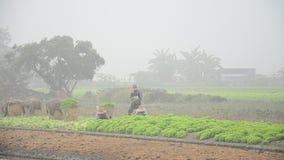 Thailändische Landwirtschaftsleute, die am Gemüsegarten arbeiten stock video footage