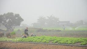Thailändische Landwirtschaftsleute, die am Gemüsegarten arbeiten stock footage