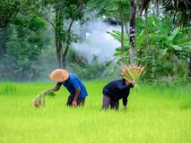 Thailändische Landwirttransplantations-Reissämlinge auf dem Planfeld bei Sako Lizenzfreie Stockfotografie